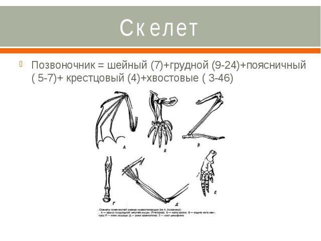 Скелет Позвоночник = шейный (7)+грудной (9-24)+поясничный ( 5-7)+ крестцовый (4)+хвостовые ( 3-46)