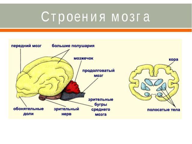Строения мозга