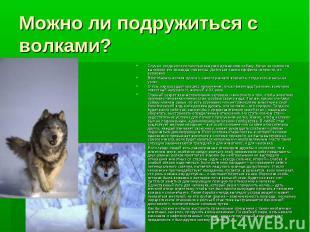 Можно ли подружиться с волками? Случаи, когда волк полностью заменял домашнюю со