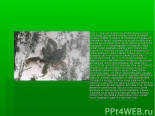 Охота – одно из главных занятий в жизни волка. Этот зверь достаточно неприхотлив