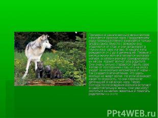 Примерно в начале весны в жизни волков начинается брачная пора. Продолжением род
