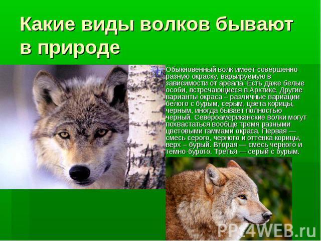 Какие виды волков бывают в природе Обыкновенный волк имеет совершенно разную окраску, варьируемую в зависимости от ареала. Есть даже белые особи, встречающиеся в Арктике. Другие варианты окраса – различные вариации белого с бурым, серым, цвета кориц…
