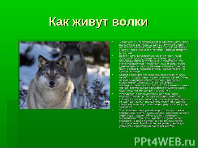 Как живут волки Сразу скажу, что в природе продолжительность жизни волка может достигать 10-11 лет, причиной смерти чаще всего становятся болезни и голод. В зоопарках, цирках и вообще в условиях неволи волк доживает и до 21 года. Волки – сильн…