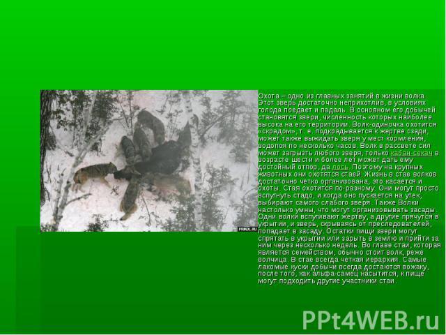 Охота – одно из главных занятий в жизни волка. Этот зверь достаточно неприхотлив, в условиях голода поедает и падаль. В основном его добычей становятся звери, численность которых наиболее высока на его территории. Волк-одиночка охотится «скрадом», т…