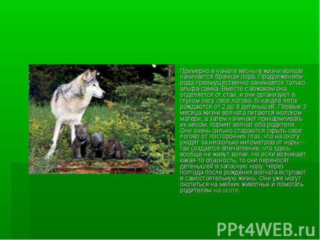 Примерно в начале весны в жизни волков начинается брачная пора. Продолжением рода преимущественно занимается только альфа-самка. Вместе с вожаком она отделяется от стаи, и они организуют в глухом лесу свое логово. В начале лета рождаются от 2 до 8 д…
