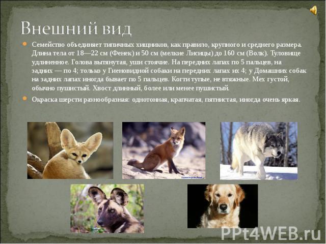 Семейство объединяет типичных хищников, как правило, крупного и среднего размера. Длина тела от 18—22 см (Фенек) и 50 см (мелкие Лисицы) до 160 см (Волк). Туловище удлиненное. Голова вытянутая, уши стоячие. На передних лапах по 5 пальцев, на задних&…