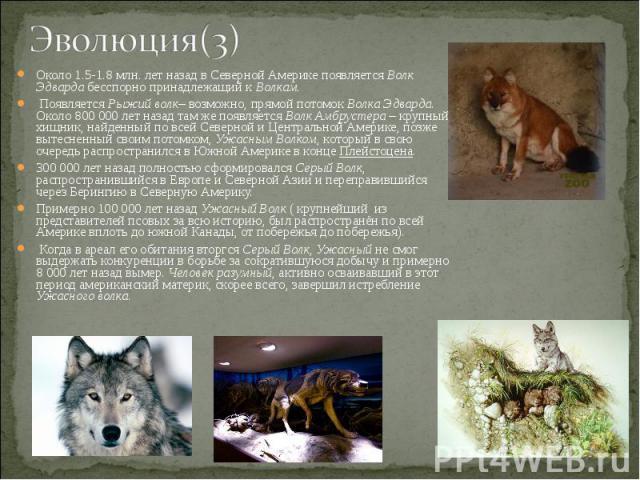 Около 1.5-1.8 млн. лет назад в Северной Америке появляется Волк Эдварда бесспорно принадлежащий к Волкам. Около 1.5-1.8 млн. лет назад в Северной Америке появляется Волк Эдварда бесспорно принадлежащий к Волкам. Появляется Рыжий волк– возможно, прям…