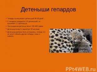Детеныши гепардов Гепарды вынашивают детенышей 90-95 дней У гепардов рождаются 3