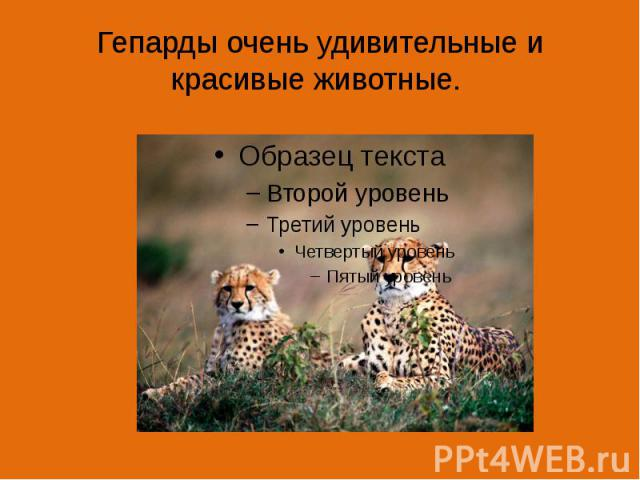 Гепарды очень удивительные и красивые животные.