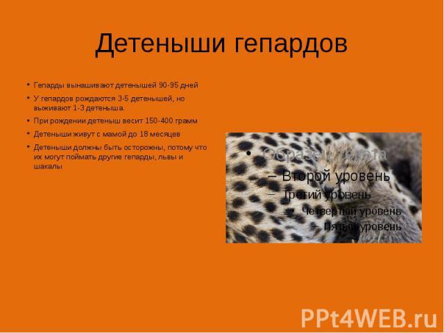 Детеныши гепардов Гепарды вынашивают детенышей 90-95 дней У гепардов рождаются 3-5 детенышей, но выживают 1-3 детеныша. При рождении детеныш весит 150-400 грамм Детеныши живут с мамой до 18 месяцев Детеныши должны быть осторожны, потому что их могут…