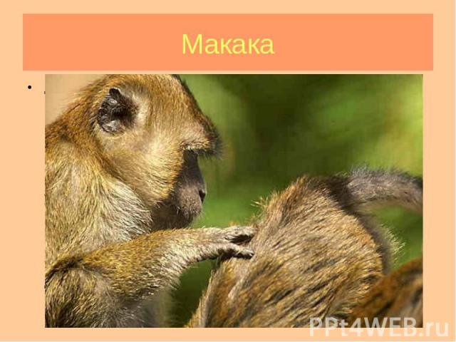 Длина макак: тела 40-75 см, хвоста 5-70 см. Масса 3,5-18 кг, самки значительно меньше. Для всех представителей этого рода характерно плотное телосложение; конечности почти равной длины, короткие и сильные; кисть хватательная, большой палец кисти, хо…