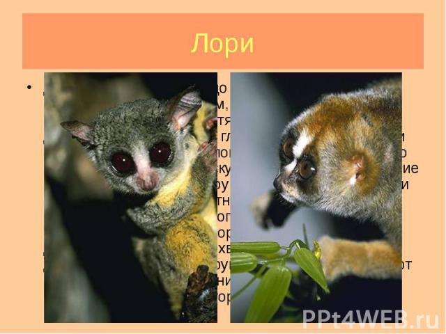 Длина тела от 22-26 см до 35-40 см. Хвост может быть коротким и длинным, есть бесхвостые виды. Глаза очень большие, хотя и чуть меньше, чем у долгопятов. У некоторых глаза окаймлены черными кругами и разделены белой полосой. Возможно, это напомнило …