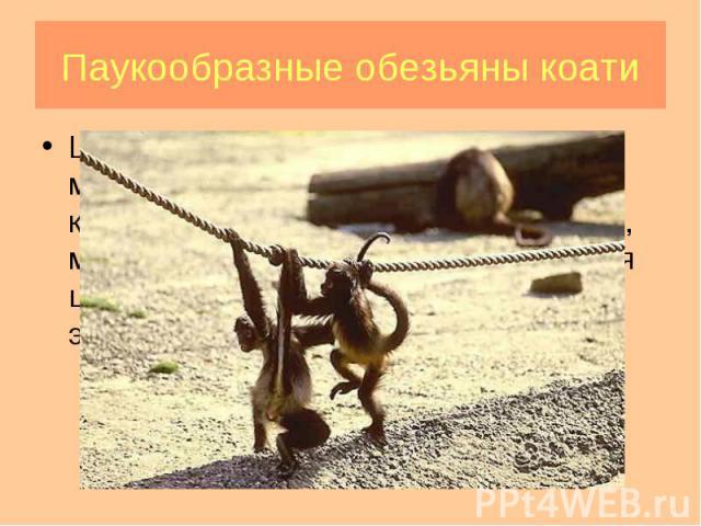 Широконосые обезьяны (ревуны, мирикины и тити, саки и уакари, капуцины и саймири, коати, тамарины, мармозетки, игрунки) характеризуются широкой носовой перегородкой, при этом ноздри обращены в стороны. Широконосые обезьяны (ревуны, мирикины и тити, …