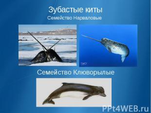 Зубастые киты Семейство Нарваловые