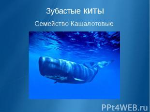 Зубастые киты Семейство Кашалотовые