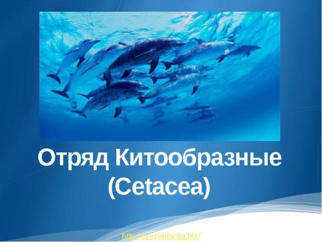 Отряд Китообразные (Cetacea)