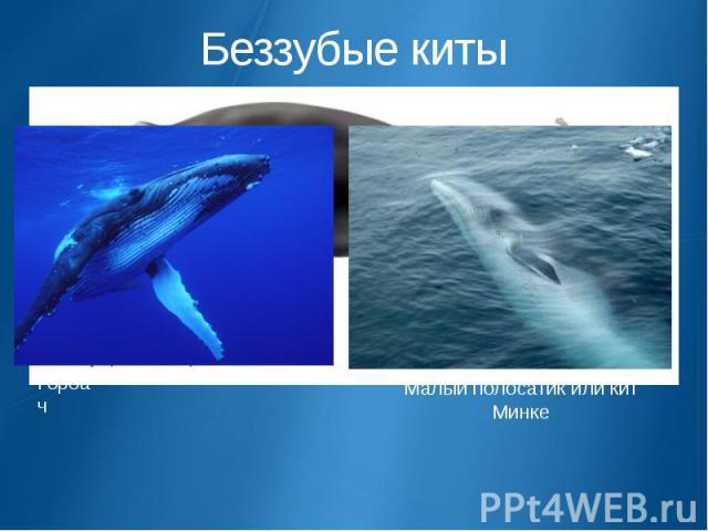 Беззубые киты