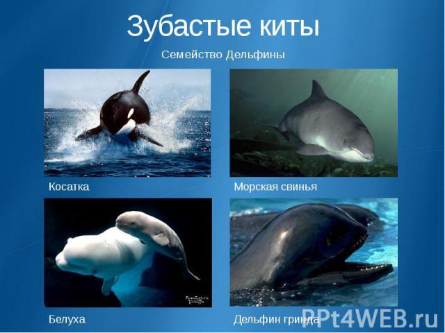 Зубастые киты Семейство Дельфины