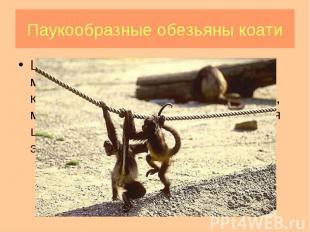 Широконосые обезьяны (ревуны, мирикины и тити, саки и уакари, капуцины и саймири