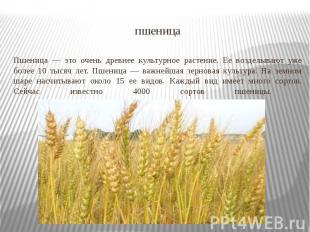 пшеница Пшеница — это очень древнее культурное растение. Ее возделывают уже боле