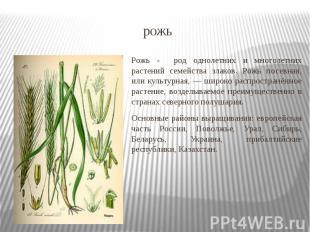рожь Рожь - род однолетних и многолетних растений семейства злаков. Рожь посевна