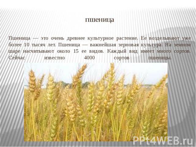 пшеница Пшеница — это очень древнее культурное растение. Ее возделывают уже более 10 тысяч лет. Пшеница — важнейшая зерновая культура. На земном шаре насчитывают около 15 ее видов. Каждый вид имеет много сортов. Сейчас известно 4000 сортов пшеницы.