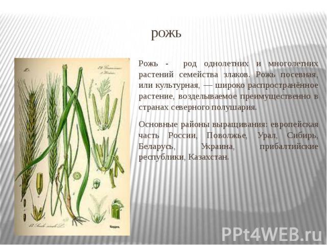 рожь Рожь - род однолетних и многолетних растений семейства злаков. Рожь посевная, или культурная, — широко распространённое растение, возделываемое преимущественно в странах северного полушария. Основные районы выращивания: европейская часть России…