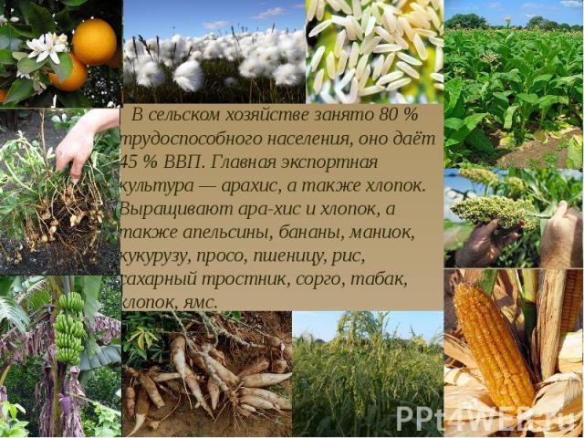 В сельском хозяйстве занято 80 % трудоспособного населения, оно даёт 45 % ВВП. Главная экспортная культура — арахис, а также хлопок. Выращивают ара-хис и хлопок, а также апельсины, бананы, маниок, кукурузу, просо, пшеницу, рис, сахарный тростник, со…