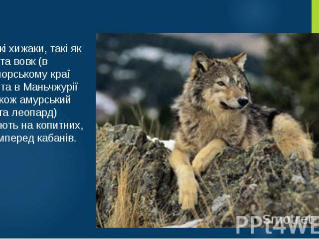 Великі хижаки, такі як рись та вовк (в Приморському краї Росії та в Маньчжурії — також амурський тигр та леопард) полюють на копитних, насамперед кабанів.