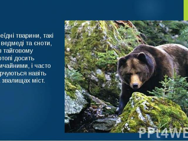 Всеїдні тварини, такі як ведмеді та єноти, є в тайговому біотопі досить звичайними, і часто харчуються навіть на звалищах міст.