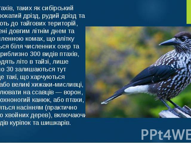 Багато птахів, таких як сибірський дрізд, строкатий дрізд, рудий дрізд та ін., мігрують до тайгових територій, принаджені довгим літнім днем та силою-силенною комах, що влітку з'являються біля численних озер та боліт. З приблизно 300 видів птахів, щ…
