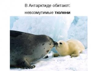 В Антарктиде обитают: В Антарктиде обитают: невозмутимые тюлени