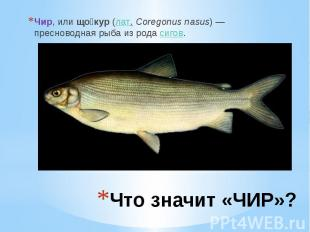 Что значит «ЧИР»? Чир, илищо кур (лат.Coregonus nasus) — пресноводна