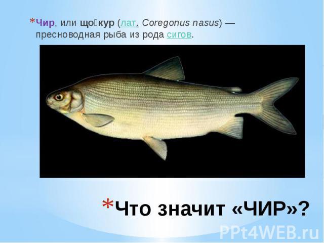 Что значит «ЧИР»? Чир, илищо кур (лат.Coregonus nasus) — пресноводная рыба из родасигов.