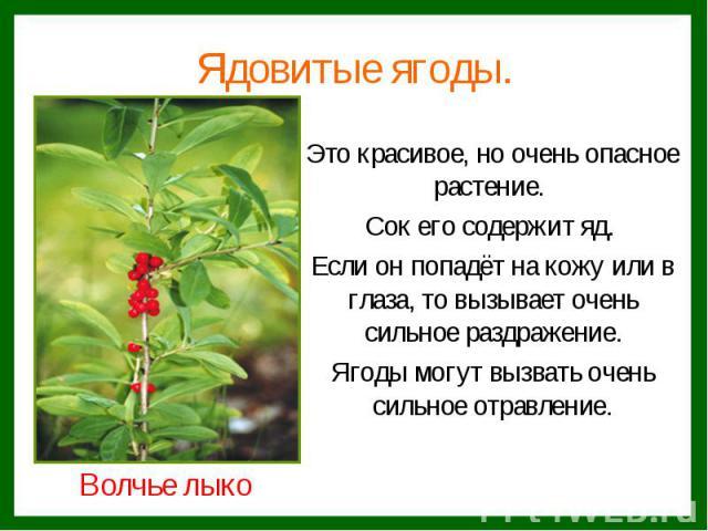 Это красивое, но очень опасное растение. Это красивое, но очень опасное растение. Сок его содержит яд. Если он попадёт на кожу или в глаза, то вызывает очень сильное раздражение. Ягоды могут вызвать очень сильное отравление.