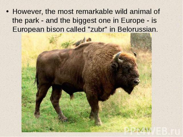 "However, the most remarkable wild animal of the park - and the biggest one in Europe - is European bison called ""zubr"" in Belorussian. However, the most remarkable wild animal of the park - and the biggest one in Europe - is European bison…"
