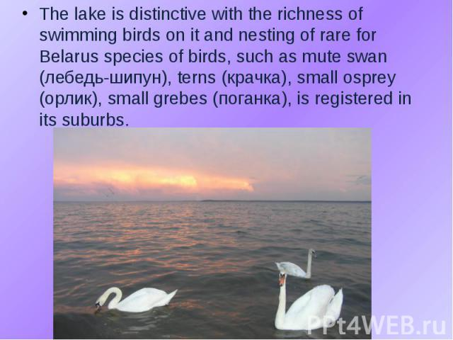 The lake is distinctive with the richness of swimming birds on it and nesting of rare for Belarus species of birds, such as mute swan (лебедь-шипун), terns (крачка), small osprey (орлик), small grebes (поганка), is registered in its suburbs. The lak…