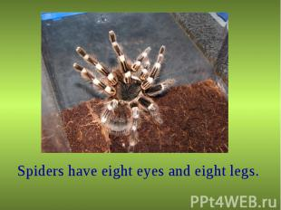 Spiders have eight eyes and eight legs. Spiders have eight eyes and eight legs.