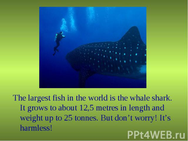 The largest fish in the world is the whale shark. It grows to about 12,5 metres in length and weight up to 25 tonnes. But don't worry! It's harmless! The largest fish in the world is the whale shark. It grows to about 12,5 metres in length and weigh…