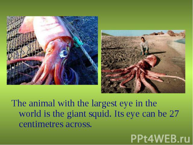 The animal with the largest eye in the world is the giant squid. Its eye can be 27 centimetres across. The animal with the largest eye in the world is the giant squid. Its eye can be 27 centimetres across.