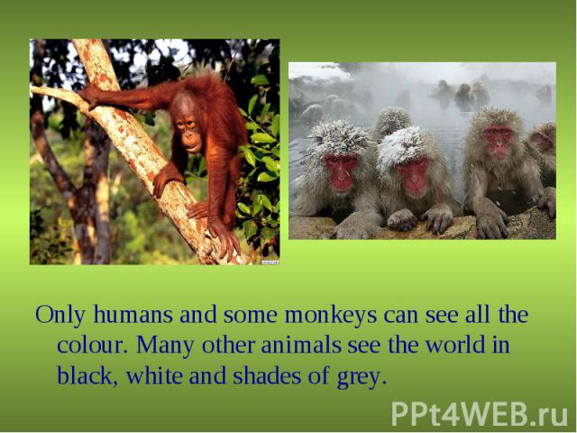 Only humans and some monkeys can see all the colour. Many other animals see the world in black, white and shades of grey. Only humans and some monkeys can see all the colour. Many other animals see the world in black, white and shades of grey.