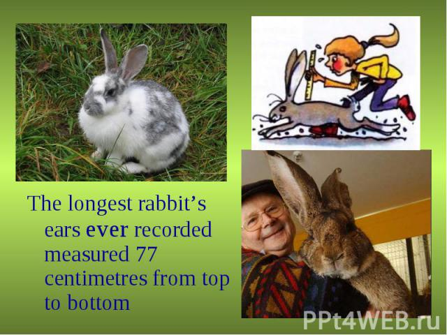 The longest rabbit's ears ever recorded measured 77 centimetres from top to bottom The longest rabbit's ears ever recorded measured 77 centimetres from top to bottom