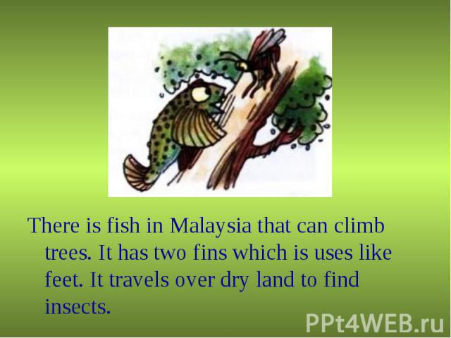 There is fish in Malaysia that can climb trees. It has two fins which is uses like feet. It travels over dry land to find insects. There is fish in Malaysia that can climb trees. It has two fins which is uses like feet. It travels over dry land to f…
