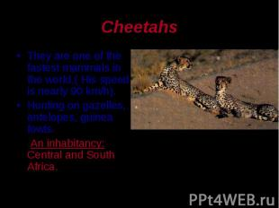 They are one of the fastest mammals in the world.( His speed is nearly 90 km/h).
