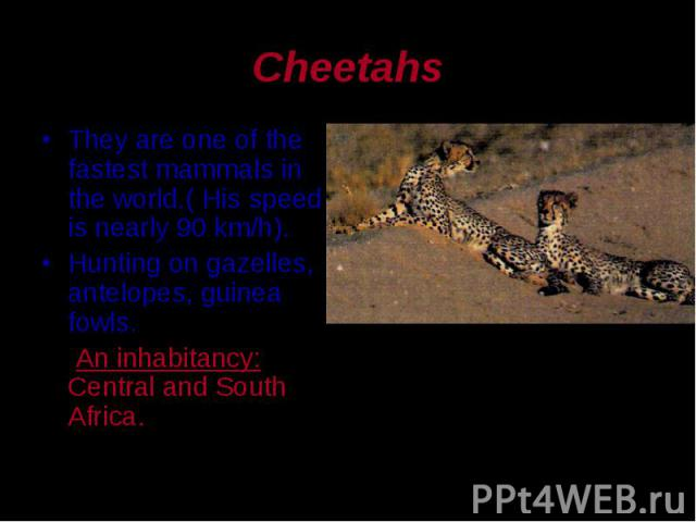 They are one of the fastest mammals in the world.( His speed is nearly 90 km/h). They are one of the fastest mammals in the world.( His speed is nearly 90 km/h). Hunting on gazelles, antelopes, guinea fowls. An inhabitancy: Central and South Africa.