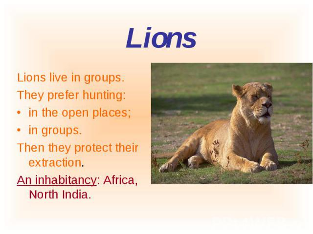 Lions live in groups. Lions live in groups. They prefer hunting: in the open places; in groups. Then they protect their extraction. An inhabitancy: Africa, North India.