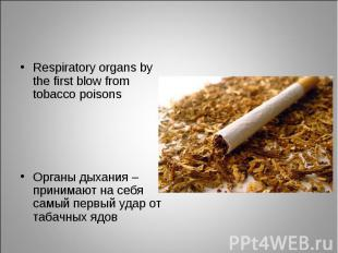 Respiratory organs by the first blow from tobacco poisons Respiratory organs by