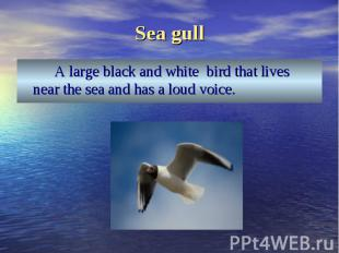 A large black and white bird that lives near the sea and has a loud voice. A lar
