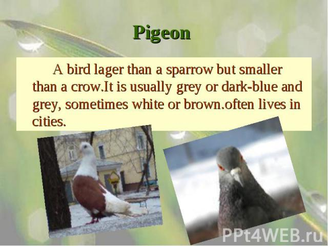 A bird lager than a sparrow but smaller than a crow.It is usually grey or dark-blue and grey, sometimes white or brown.often lives in cities. A bird lager than a sparrow but smaller than a crow.It is usually grey or dark-blue and grey, sometimes whi…