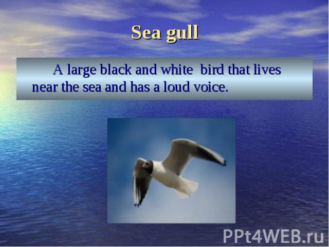 A large black and white bird that lives near the sea and has a loud voice. A large black and white bird that lives near the sea and has a loud voice.